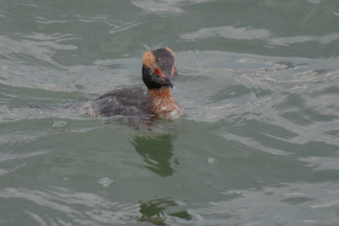 Female Horned Grebe! St. Catharines, Ontario Canada