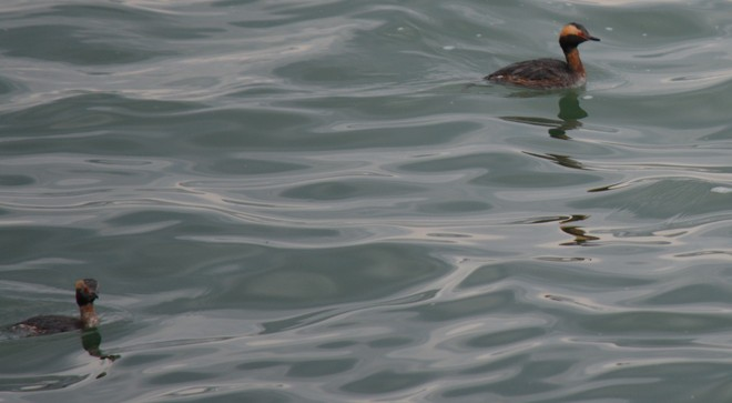 Horned Grebe Couple! St. Catharines, Ontario Canada