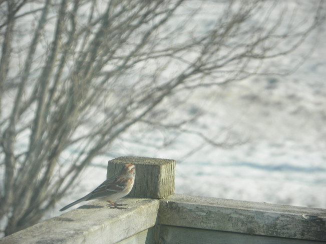 Finch Fredericton, New Brunswick Canada