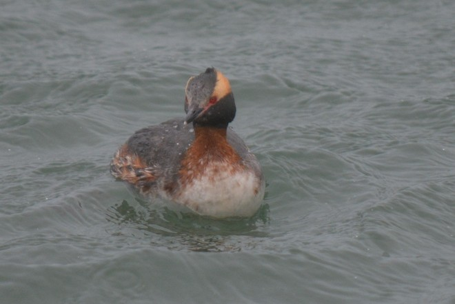 Horned Grebe! St. Catharines, Ontario Canada
