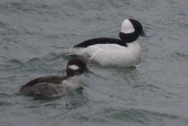 Bufflehead Couple! St. Catharines, Ontario Canada