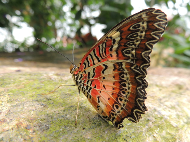Red Lacewing butterfly Niagara Falls, Ontario Canada