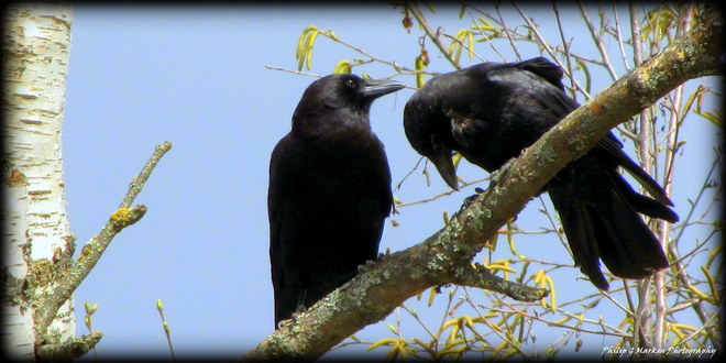 Crows Preening Nelson, British Columbia Canada