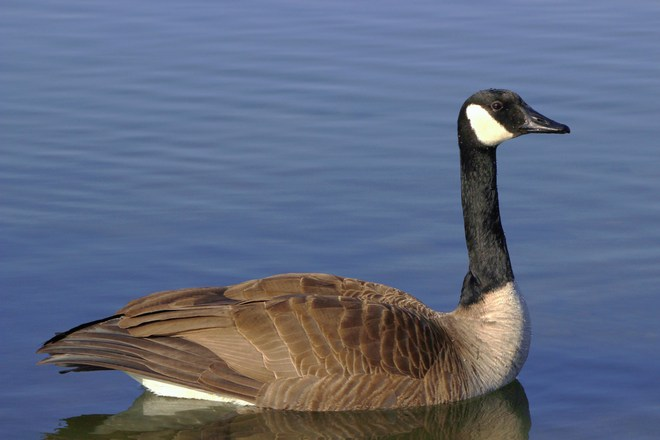 Beautiful Canada Goose Richmond Hill, Ontario Canada