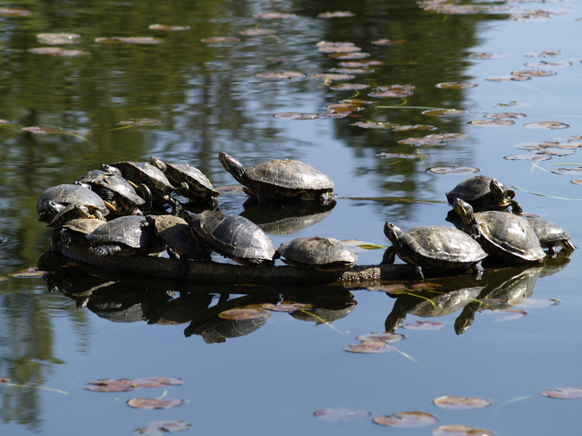 Turtles basking in Salish Park Chilliwack, British Columbia Canada