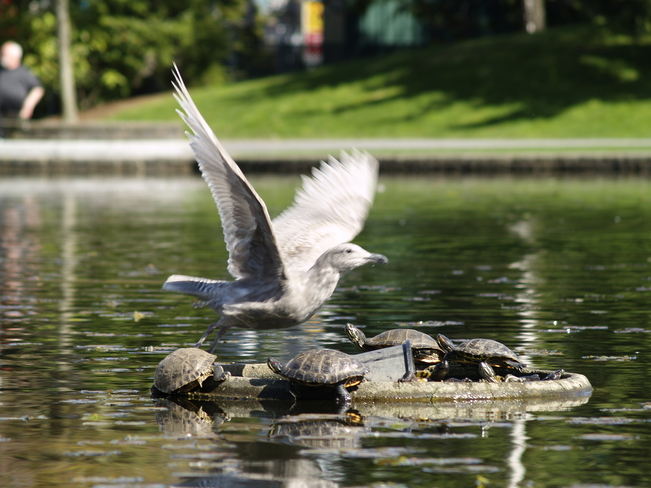 Gull and turtles Chilliwack, British Columbia Canada