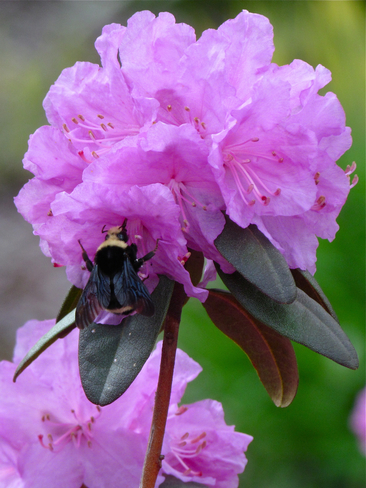 spring bee/rhodo Abbotsford, British Columbia Canada