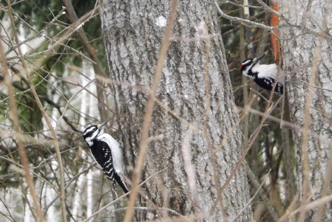 2 DOWNEY WOODPECKERS ENJOYING LUNCH Thunder Bay, Ontario Canada