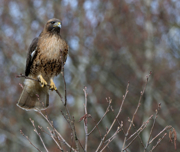 Red-tailed Hawk, Sitting Pretty. Delta, British Columbia Canada