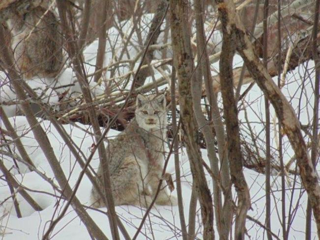 Lynx in my back yard Englehart, Ontario Canada