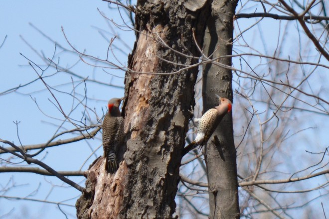 Double Northern Flickers Woodpeckers! St. Catharines, Ontario Canada