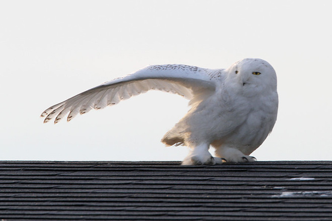 Snowy Owl gives directions to the Arctic Ottawa, Ontario Canada