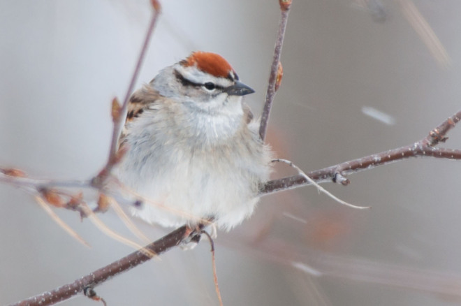 Chipping Sparrow in the Snow Singhampton, Ontario Canada