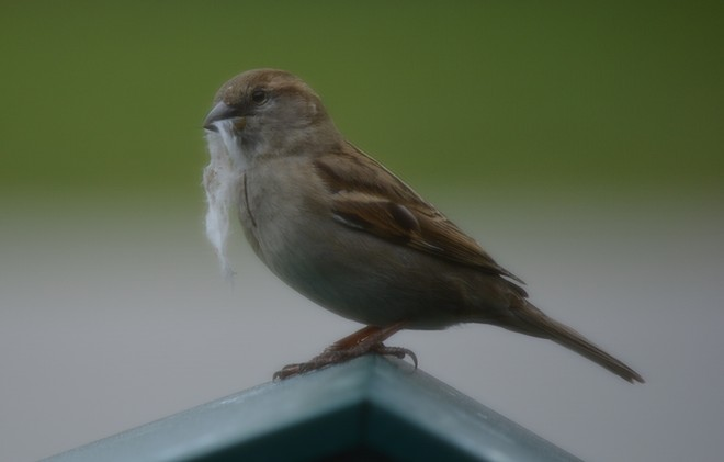 Female House Sparrow! St. Catharines, Ontario Canada