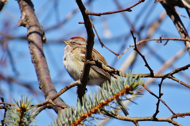 American Tree Sparrow enjoying the sun. North Bay, Ontario Canada