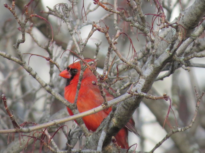 Red bird Brantford, Ontario Canada
