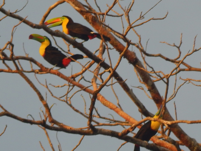 The Toucan Tree