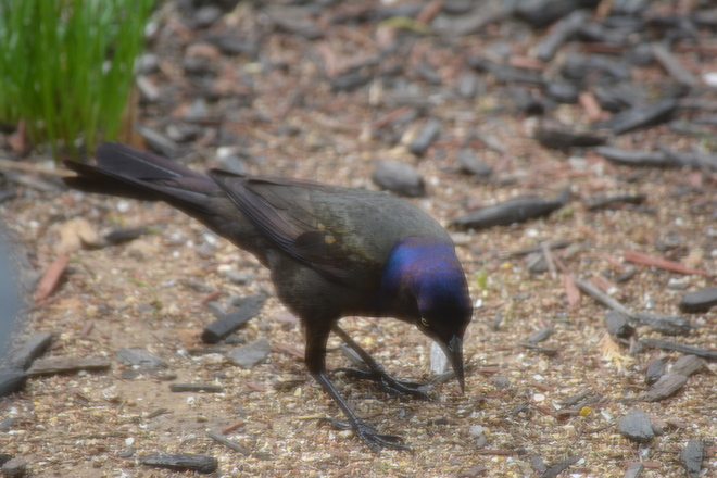 Common Grackle! St. Catharines, Ontario Canada