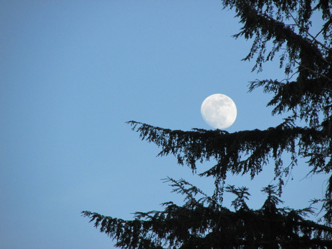 moon on a hemlock branch Surrey, British Columbia Canada