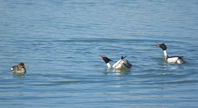 Red Breasted Merganser Courtship Goderich, Ontario Canada