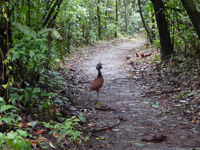 The Great Curassow