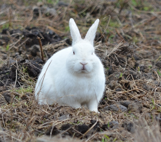 Peter Cottontail Prince George, British Columbia Canada