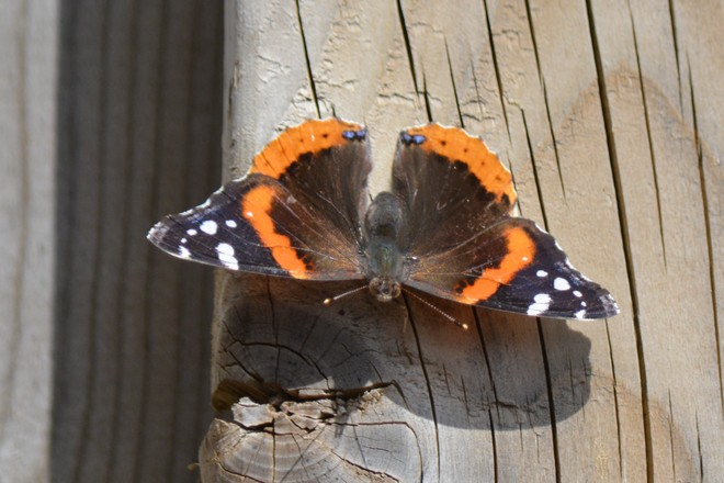 Red Admiral Butterfly! St. Catharines, Ontario Canada