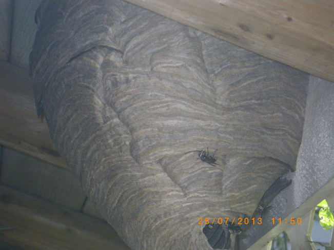 Large Hornet Nest Surrey, British Columbia Canada