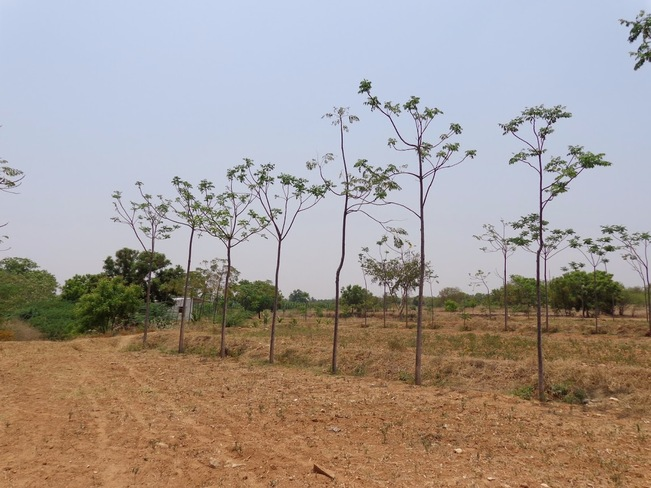 Advance Summer Taking Toll on Trees Coimbatore, Tamil Nadu India
