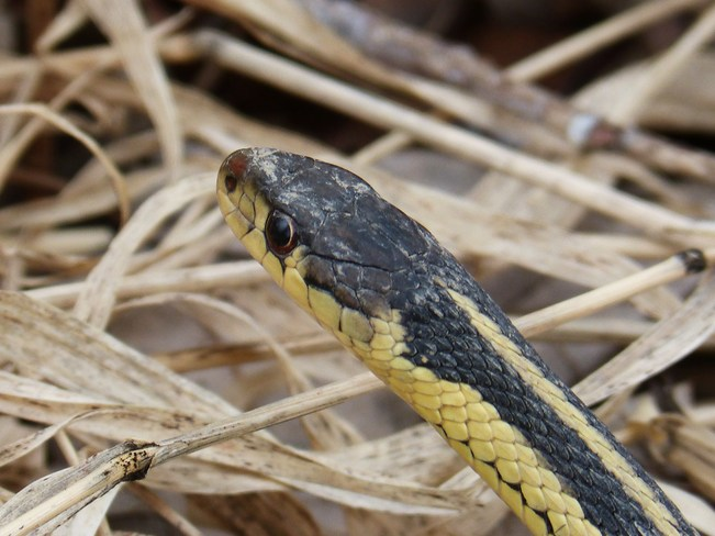 Garter Snake up close Orleans, Ontario Canada