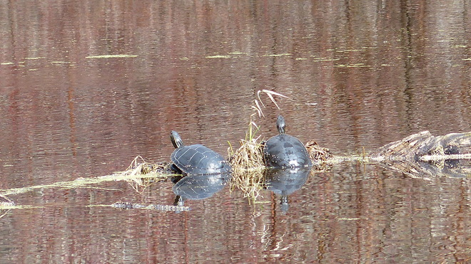 paint turtles Grand Forks, British Columbia Canada