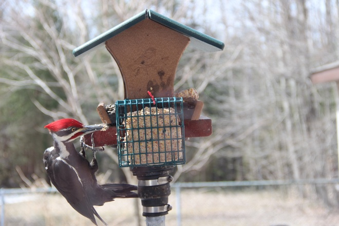 Easter morning visitor Orleans, Ontario Canada