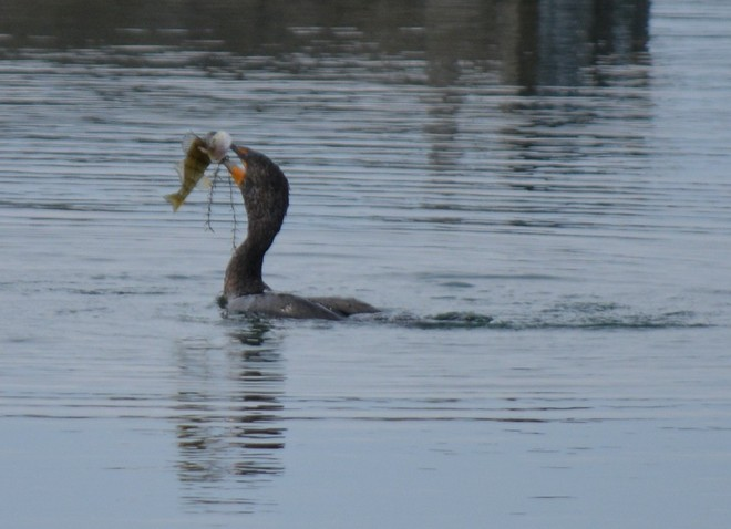 Red-Faced Cormorant! St. Catharines, Ontario Canada
