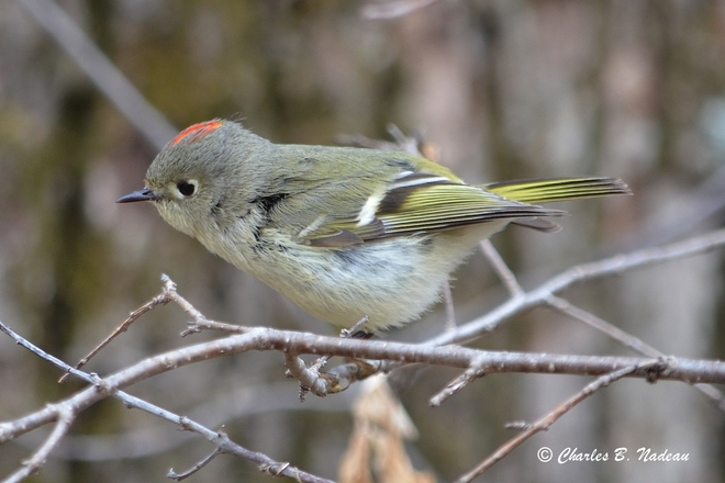 Ruby-crowned Kinglet up-close Orleans, Ontario Canada