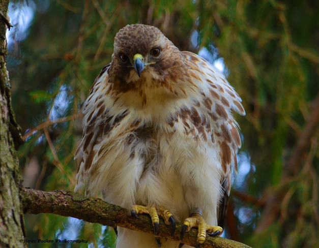 Red Tailed Hawk Pose Scarborough, Ontario Canada