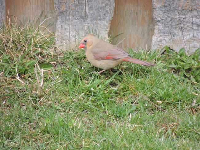 Female Cardinal in the yard Newmarket, Ontario Canada