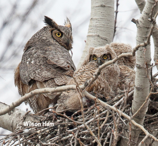 Great Horned Owl family Ottawa, Ontario Canada