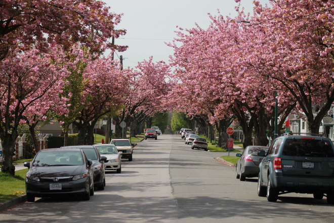 Cherry Blossoms Vancouver, British Columbia Canada