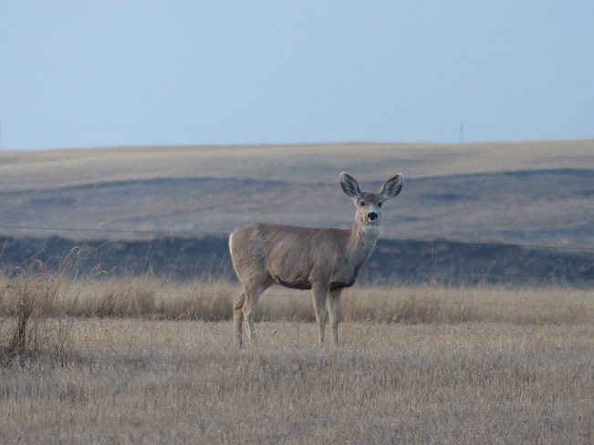 Mule Deer Kindersley, Saskatchewan Canada