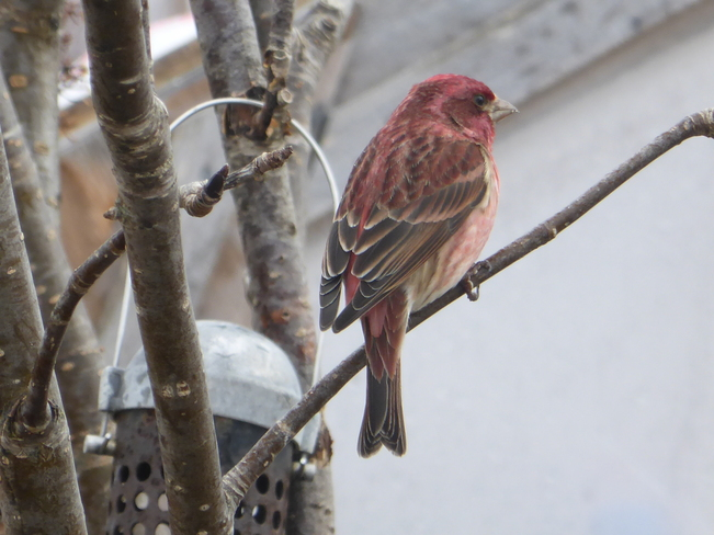 Purple Finch Birchy Bay, Newfoundland and Labrador Canada
