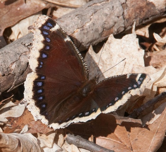 Mourning cloak spreading its wings Toronto, Ontario Canada