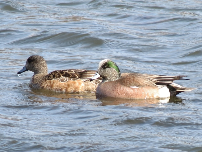 American Wigeons? Sackville, New Brunswick Canada