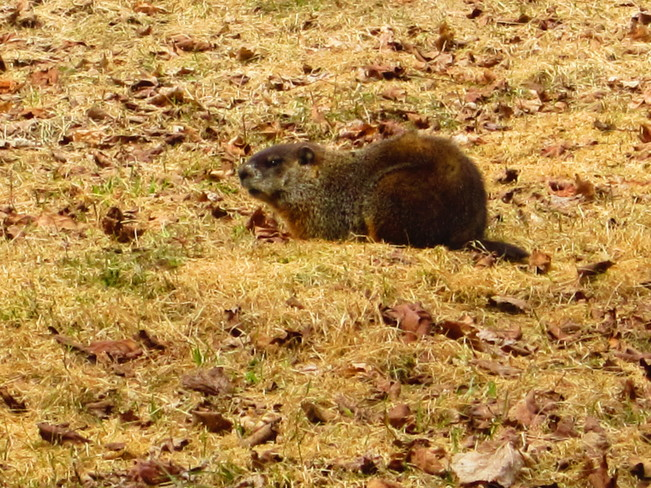 groundhog Temperance Vale, New Brunswick Canada