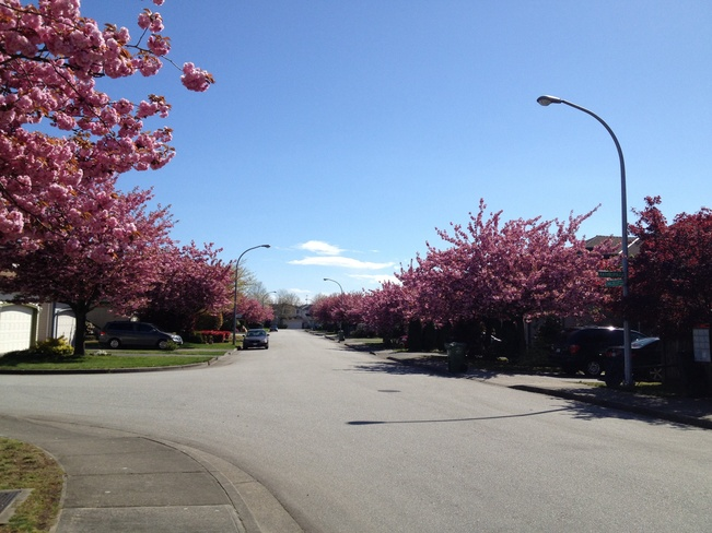 Cherry blooming Richmond, British Columbia Canada
