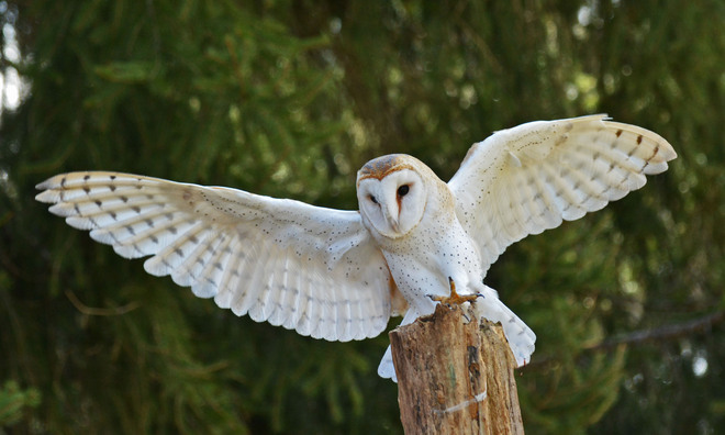 Barn Owl Kitchener, Ontario Canada