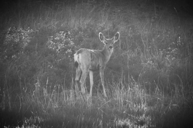 Black & White Tail Deer Vernon, British Columbia Canada
