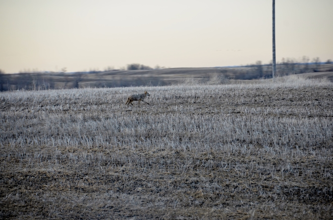 Coyote, the Road runner Saskatoon, Saskatchewan Canada
