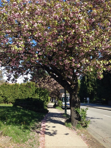 Cherry Blossom Bliss Vancouver, British Columbia Canada
