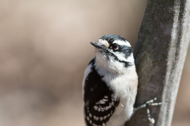 Downy Woodpecker at Lemoines Point Kingston, Ontario Canada