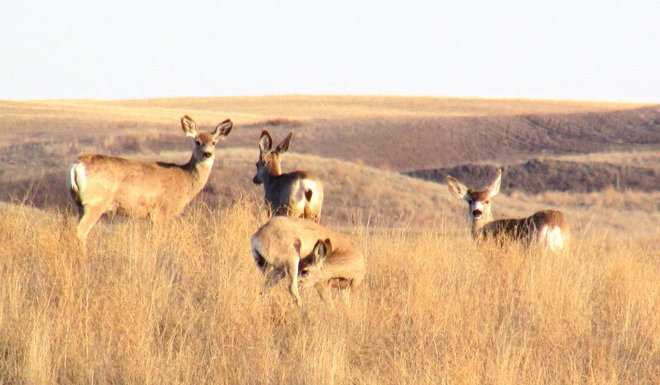 Mule Deer Swift Current, Saskatchewan Canada